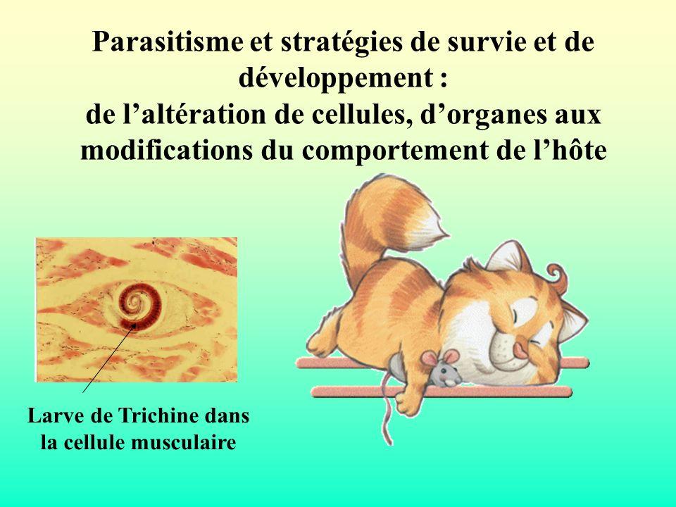 Larve de Trichine dans la cellule musculaire