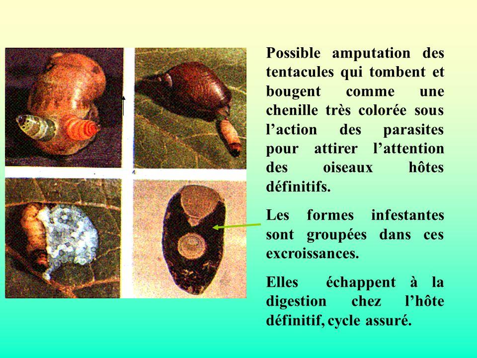 Possible amputation des tentacules qui tombent et bougent comme une chenille très colorée sous l'action des parasites pour attirer l'attention des oiseaux hôtes définitifs.