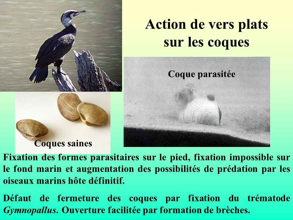 Action de vers plats sur les coques