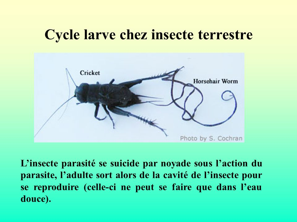 Cycle larve chez insecte terrestre