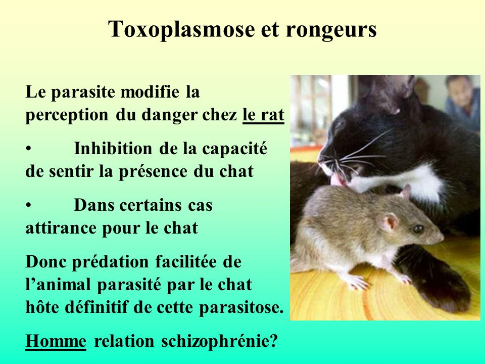 Toxoplasmose et rongeurs