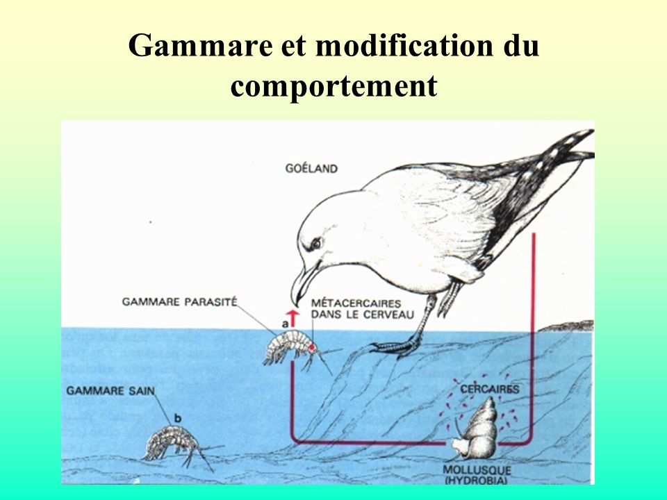 Gammare et modification du comportement