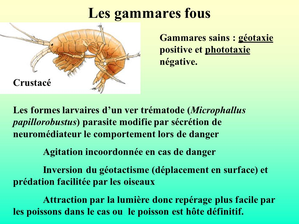 Les gammares fousGammares sains : géotaxie positive et phototaxie négative. Crustacé.