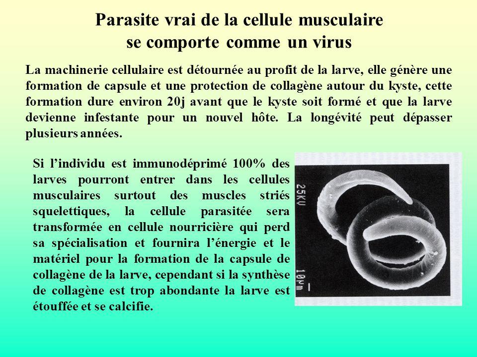 Parasite vrai de la cellule musculaire se comporte comme un virus