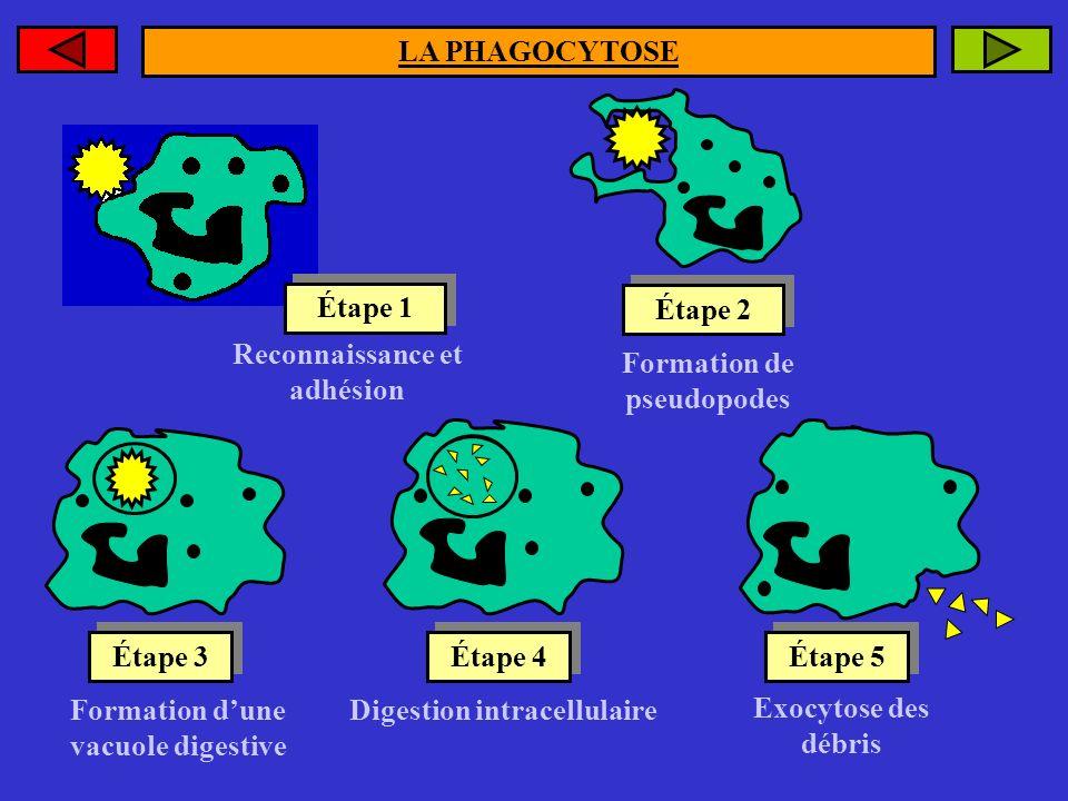 Reconnaissance et adhésion Formation de pseudopodes