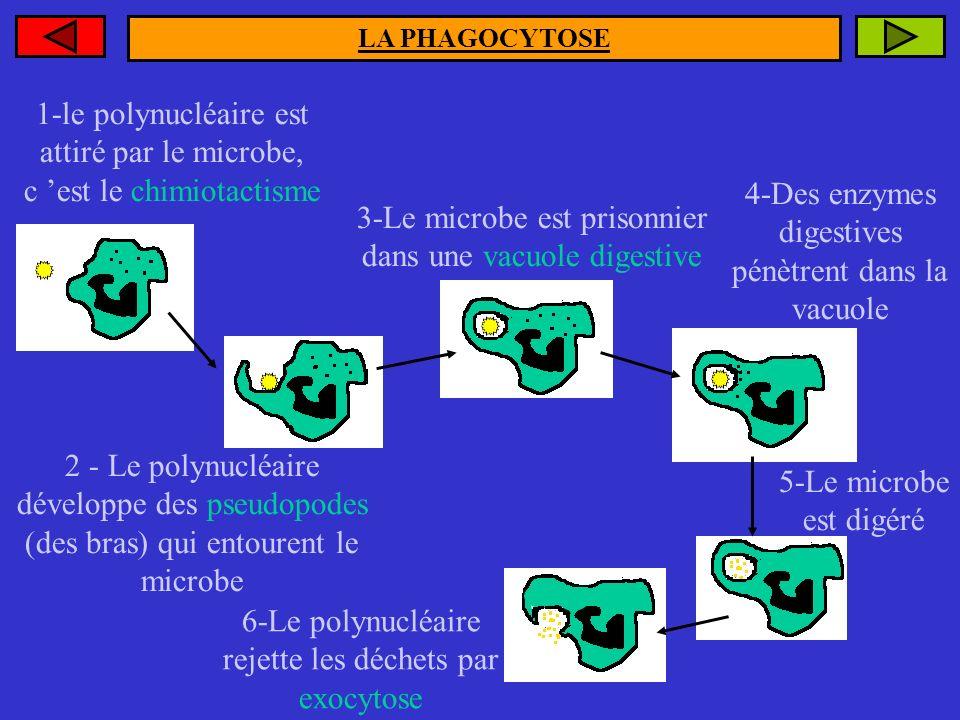 1-le polynucléaire est attiré par le microbe, c 'est le chimiotactisme