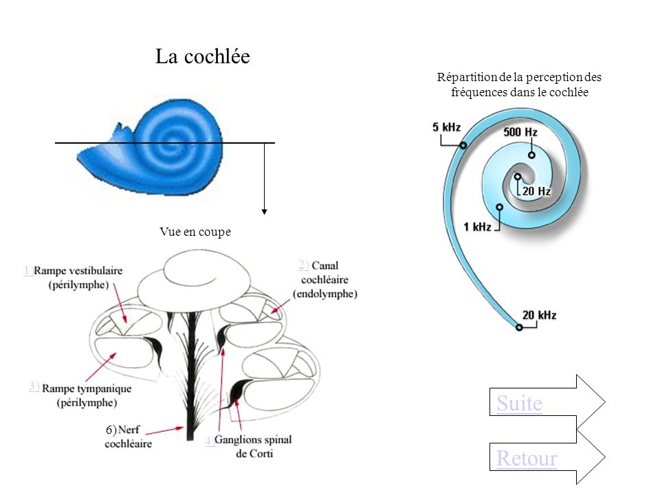 Répartition de la perception des fréquences dans le cochlée