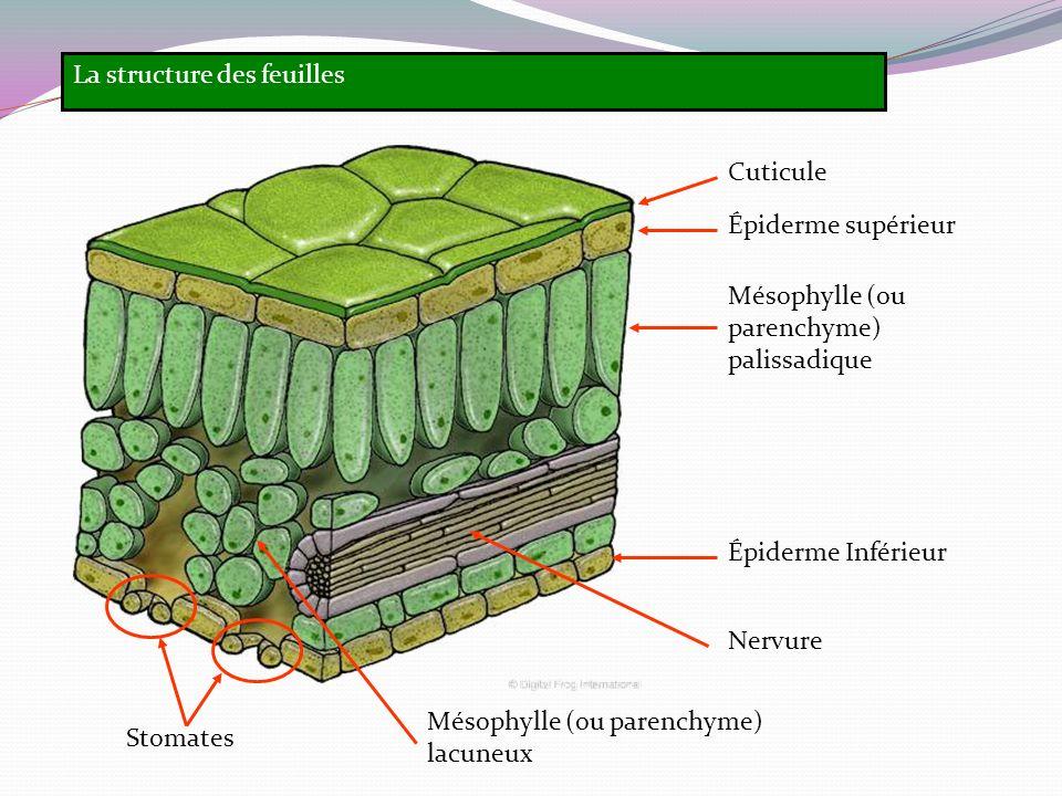 La structure des feuilles