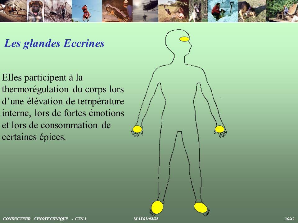 Les glandes Eccrines