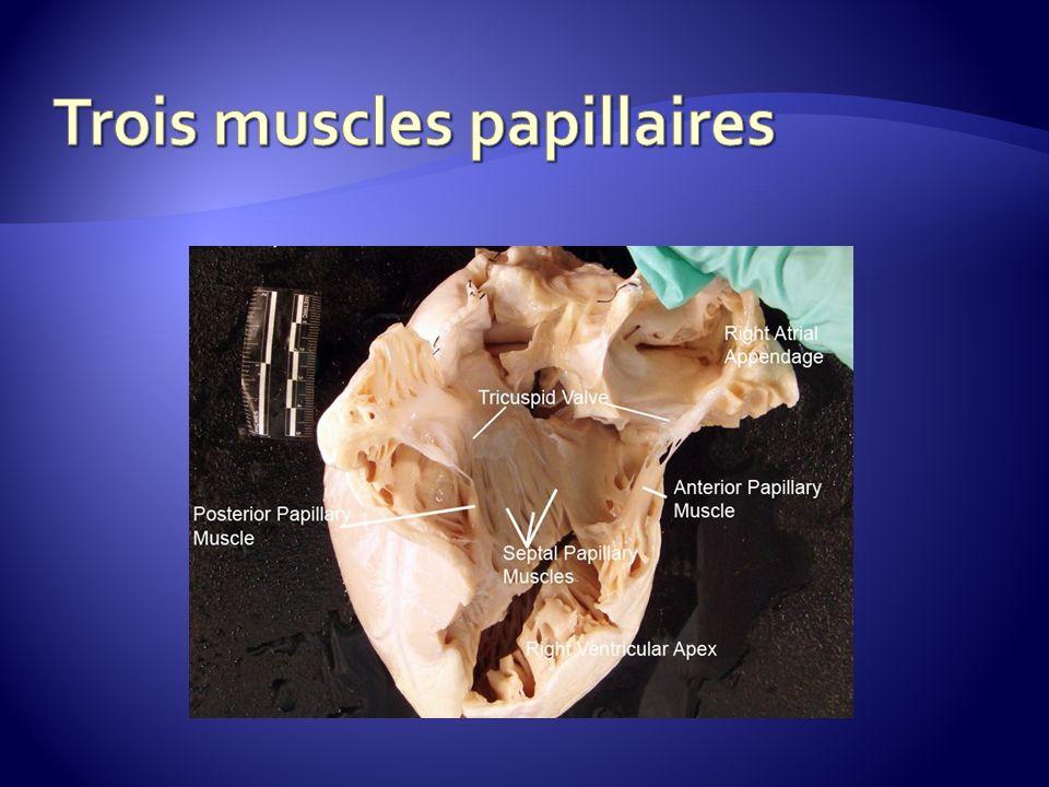 Trois muscles papillaires