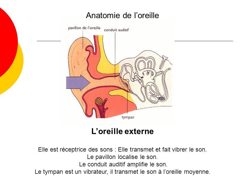 Anatomie de l'oreille L'oreille externe