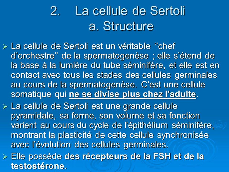 2. La cellule de Sertoli a. Structure