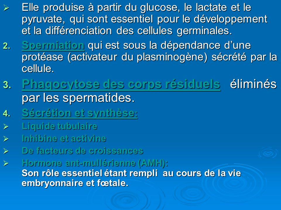 Phagocytose des corps résiduels éliminés par les spermatides.