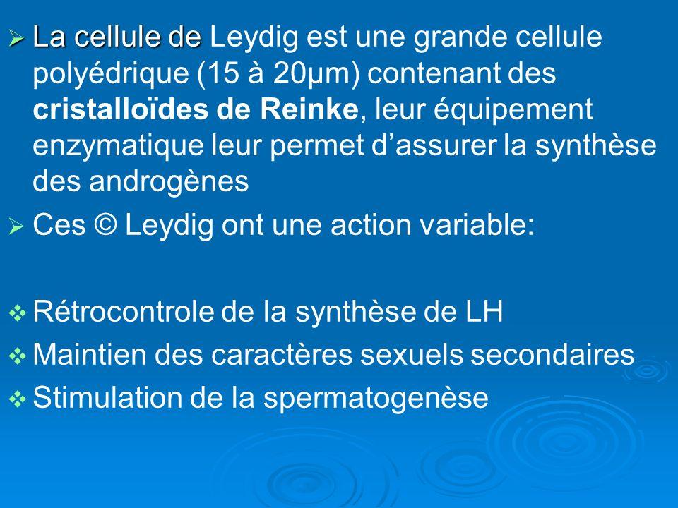 La cellule de Leydig est une grande cellule polyédrique (15 à 20µm) contenant des cristalloïdes de Reinke, leur équipement enzymatique leur permet d'assurer la synthèse des androgènes