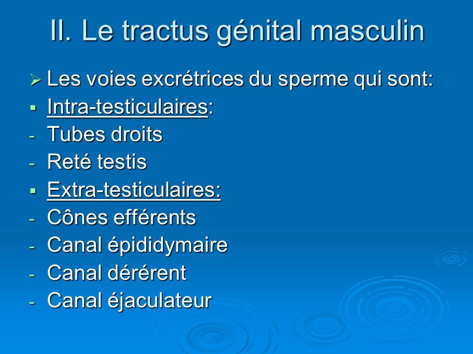 II. Le tractus génital masculin