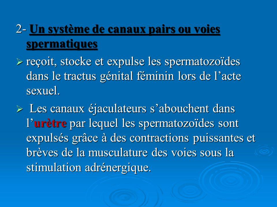 2- Un système de canaux pairs ou voies spermatiques