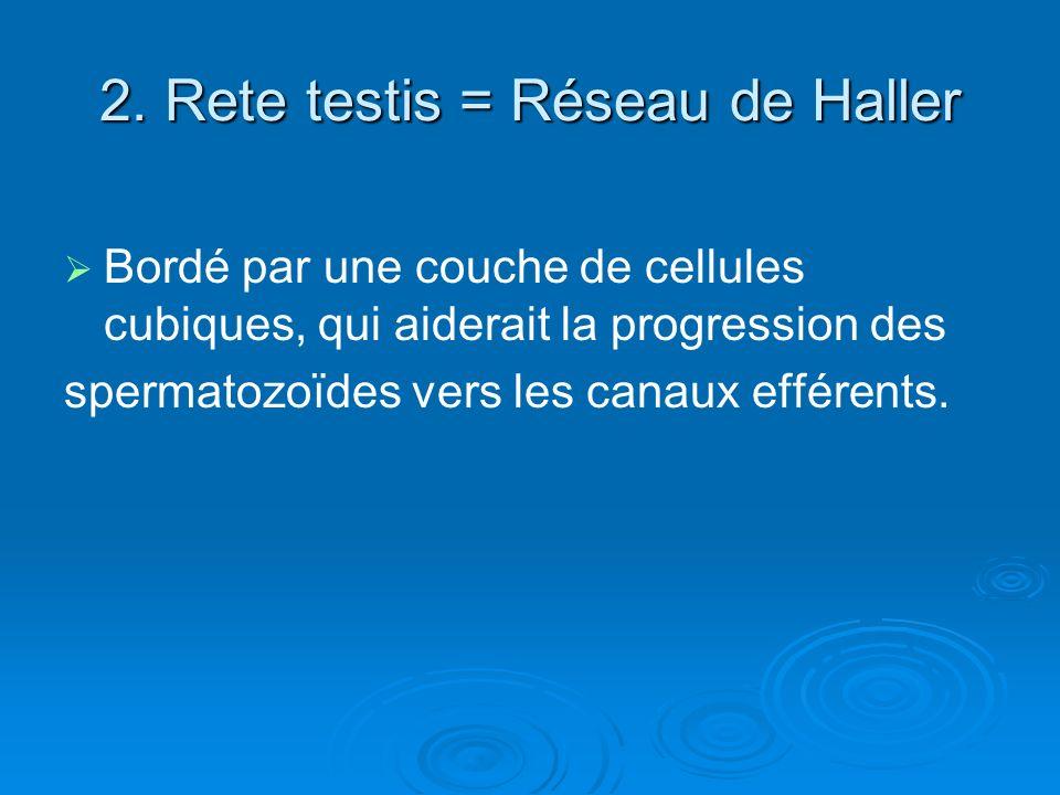 2. Rete testis = Réseau de Haller