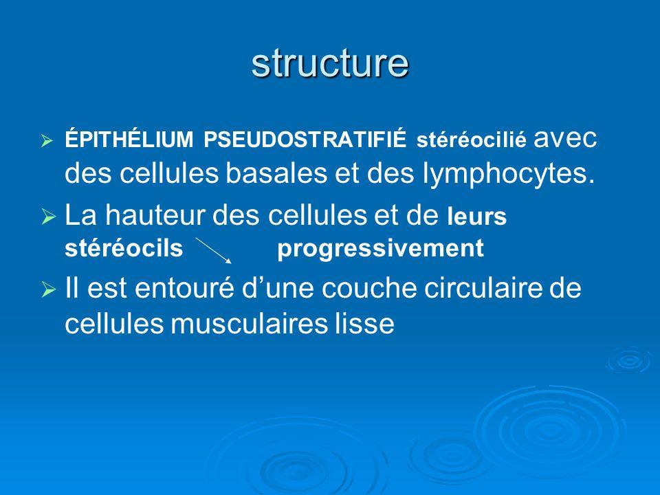 structure ÉPITHÉLIUM PSEUDOSTRATIFIÉ stéréocilié avec des cellules basales et des lymphocytes.