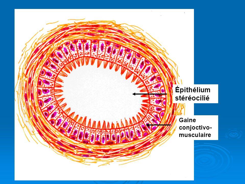 Épithélium stéréocilié