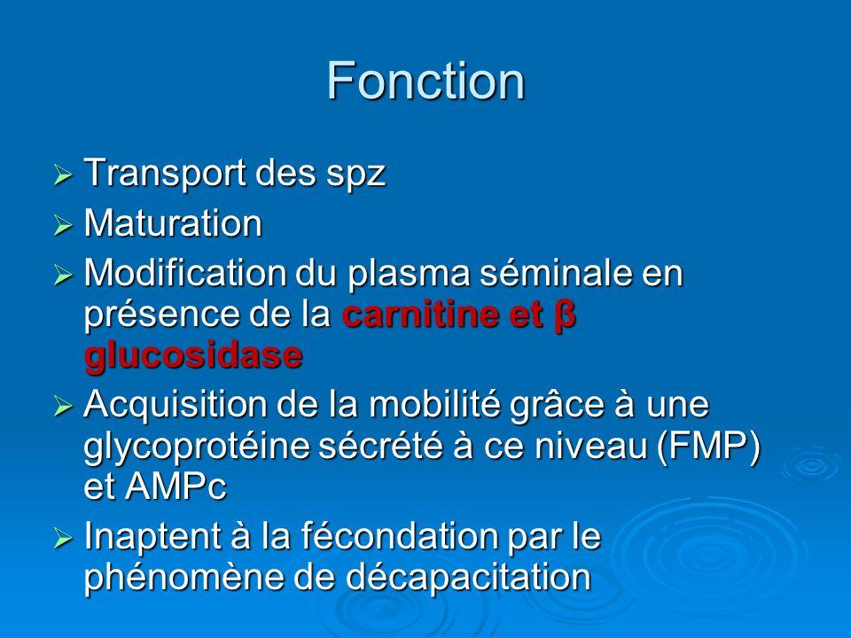 Fonction Transport des spz Maturation
