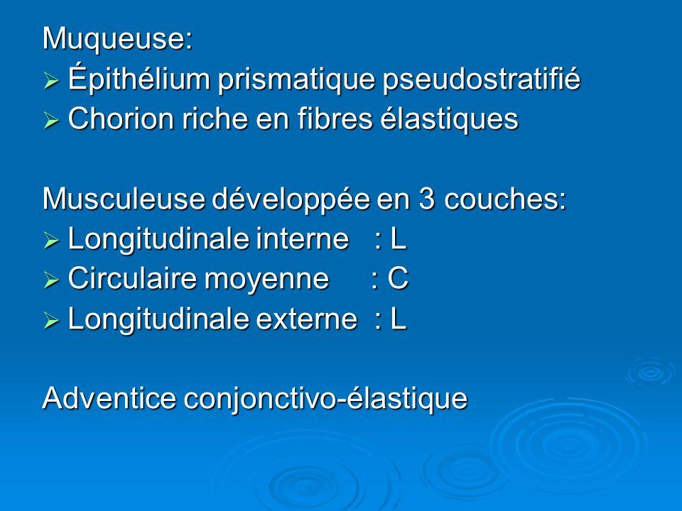Muqueuse: Épithélium prismatique pseudostratifié. Chorion riche en fibres élastiques. Musculeuse développée en 3 couches: