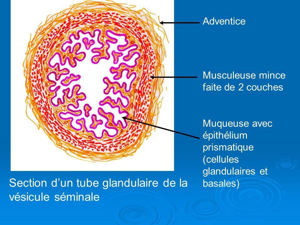 Section d'un tube glandulaire de la vésicule séminale