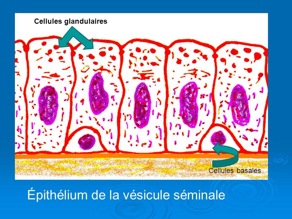 Épithélium de la vésicule séminale