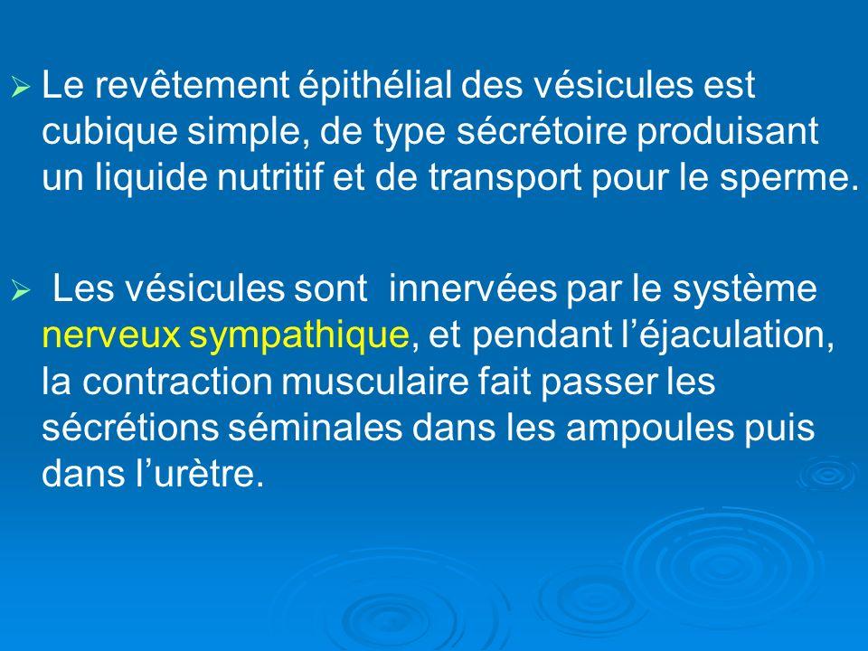 Le revêtement épithélial des vésicules est cubique simple, de type sécrétoire produisant un liquide nutritif et de transport pour le sperme.