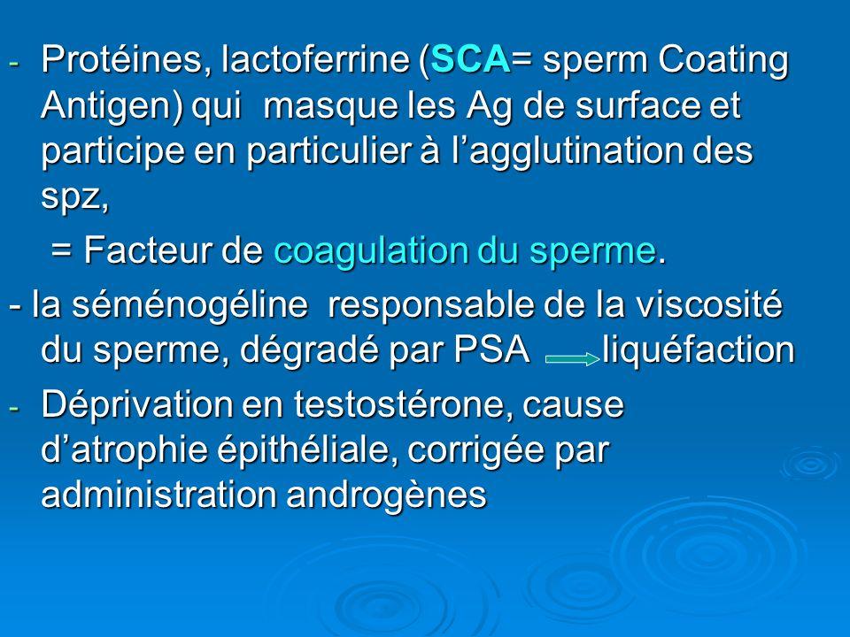 Protéines, lactoferrine (SCA= sperm Coating Antigen) qui masque les Ag de surface et participe en particulier à l'agglutination des spz,