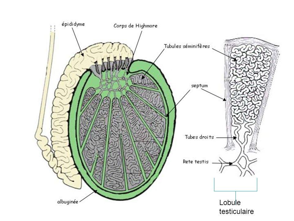 Lobule testiculaire 2