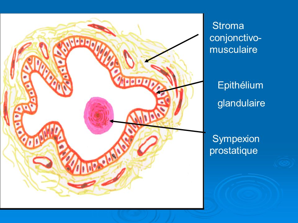 Stroma conjonctivo-musculaire