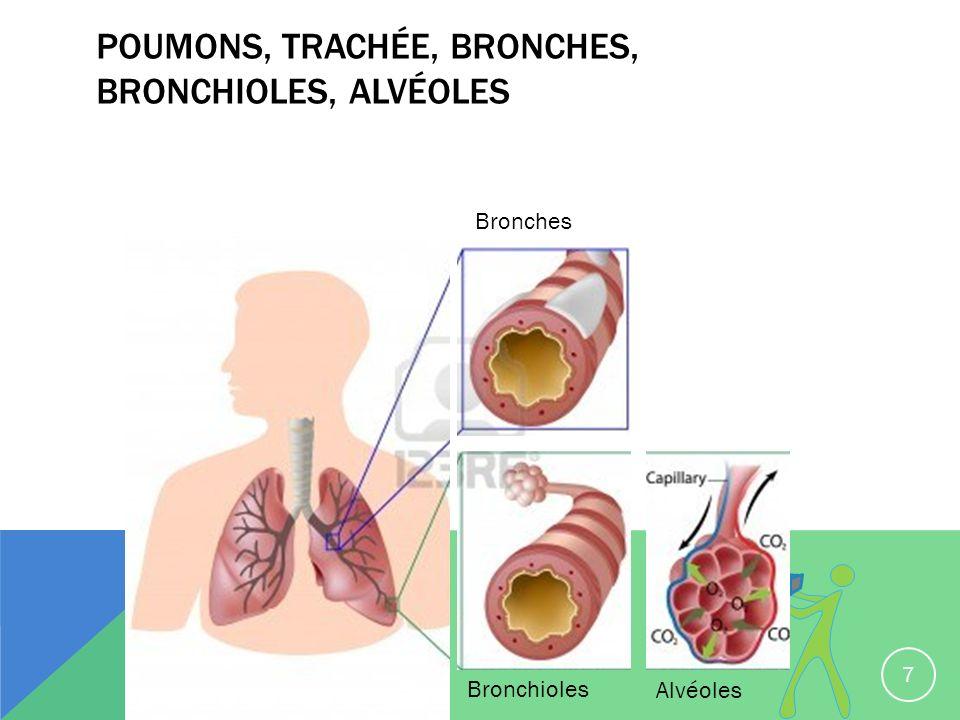 Poumons, trachée, bronches, bronchioles, alvéoles