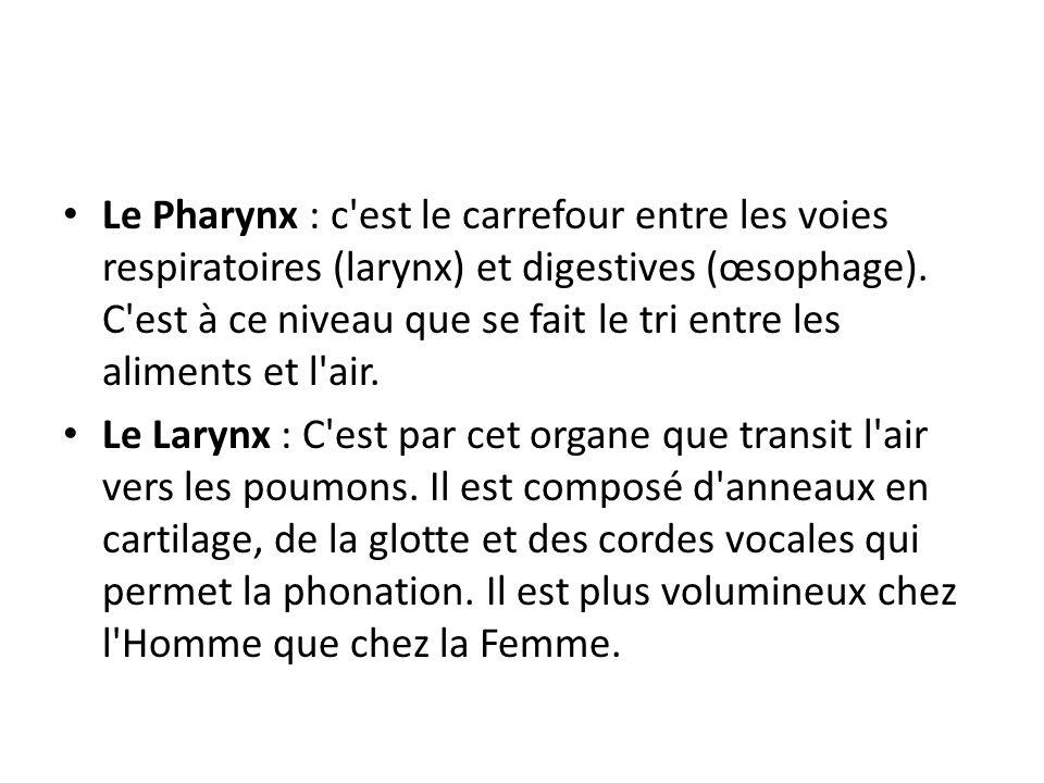 Le Pharynx : c est le carrefour entre les voies respiratoires (larynx) et digestives (œsophage). C est à ce niveau que se fait le tri entre les aliments et l air.