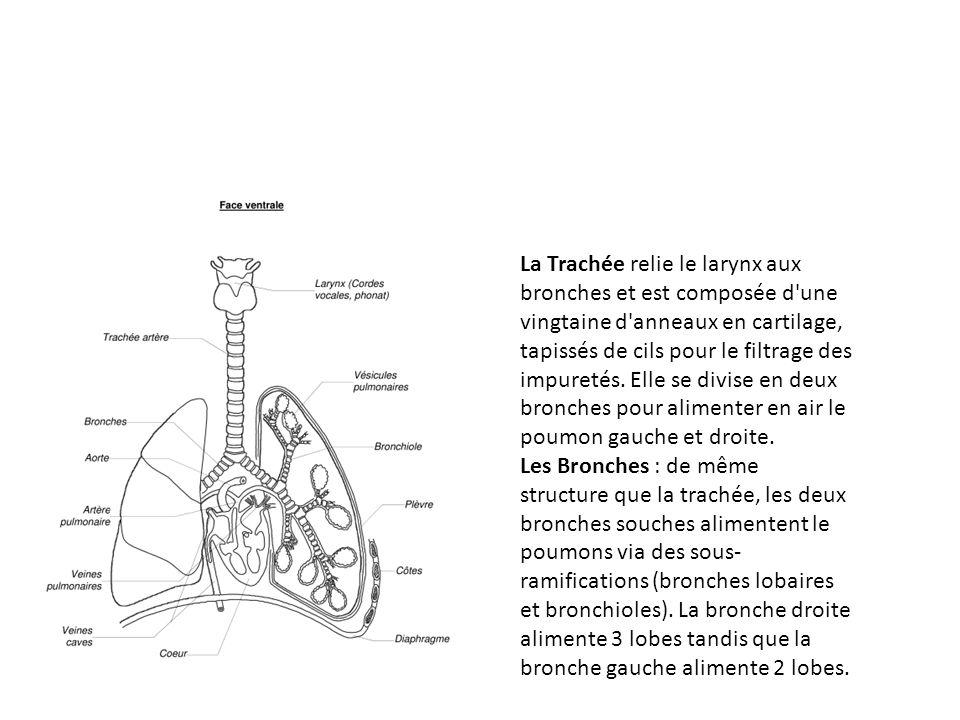 La Trachée relie le larynx aux bronches et est composée d une vingtaine d anneaux en cartilage, tapissés de cils pour le filtrage des impuretés. Elle se divise en deux bronches pour alimenter en air le poumon gauche et droite.