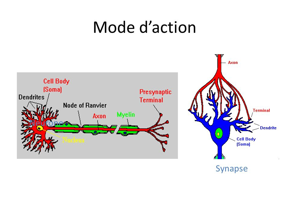 Mode d'action Neurone Axone terminale Synapse
