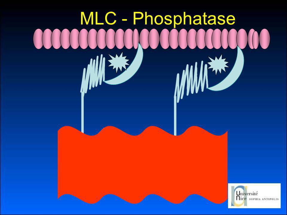 MLC - Phosphatase Activation de la Myosin Light Chain Phosphatase (MLCP)