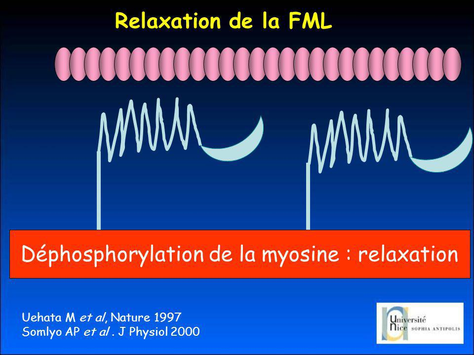 Déphosphorylation de la myosine : relaxation