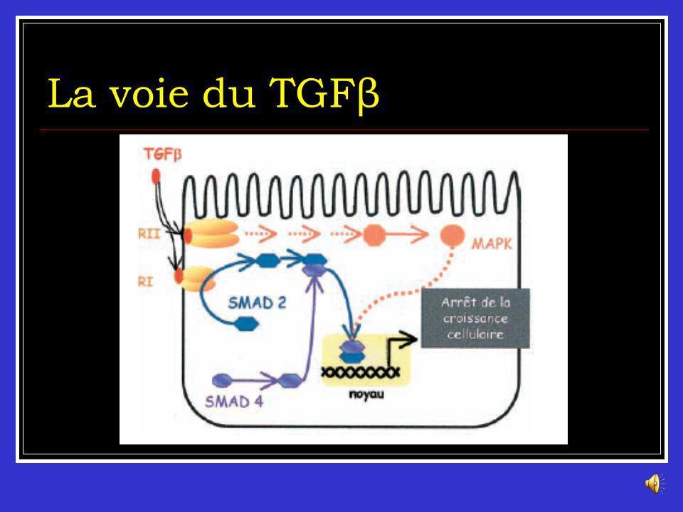 La voie du TGFβ
