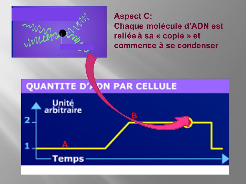 Aspect C: Chaque molécule d'ADN est reliée à sa « copie » et commence à se condenser B A
