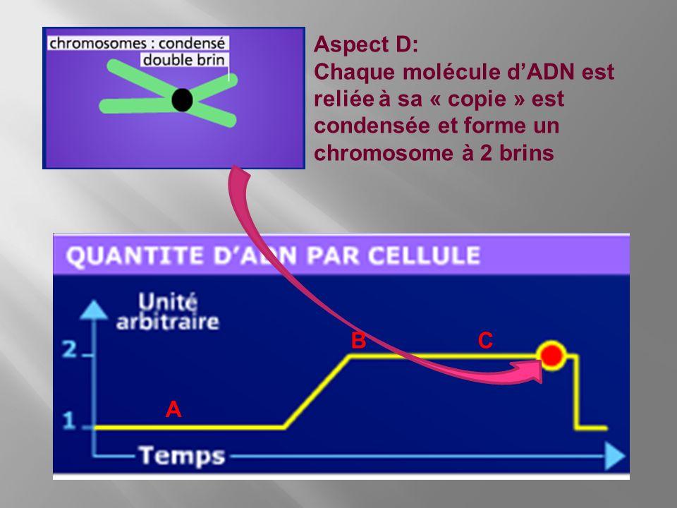 Aspect D: Chaque molécule d'ADN est reliée à sa « copie » est condensée et forme un chromosome à 2 brins.