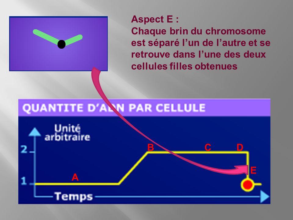 Aspect E : Chaque brin du chromosome est séparé l'un de l'autre et se retrouve dans l'une des deux cellules filles obtenues.