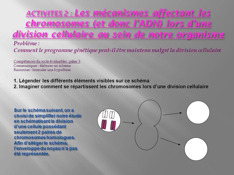 ACTIVITES 2 : Les mécanismes affectant les chromosomes (et donc l'ADN) lors d'une division cellulaire au sein de notre organisme