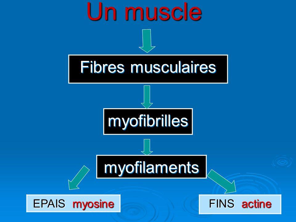 Un muscle Fibres musculaires myofibrilles myofilaments EPAIS myosine