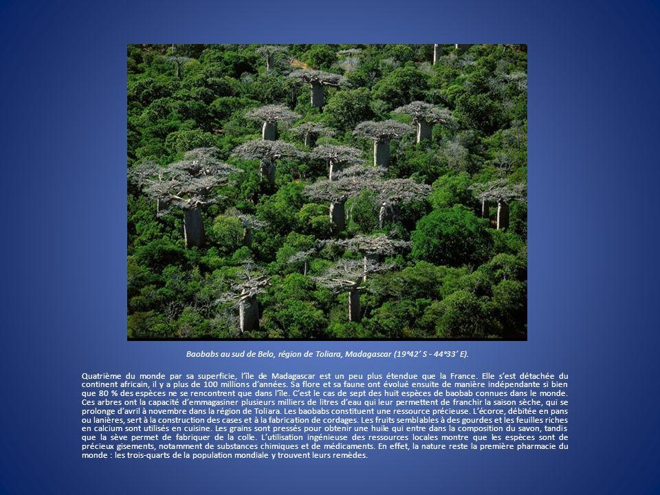 Baobabs au sud de Belo, région de Toliara, Madagascar (19°42' S - 44°33' E).