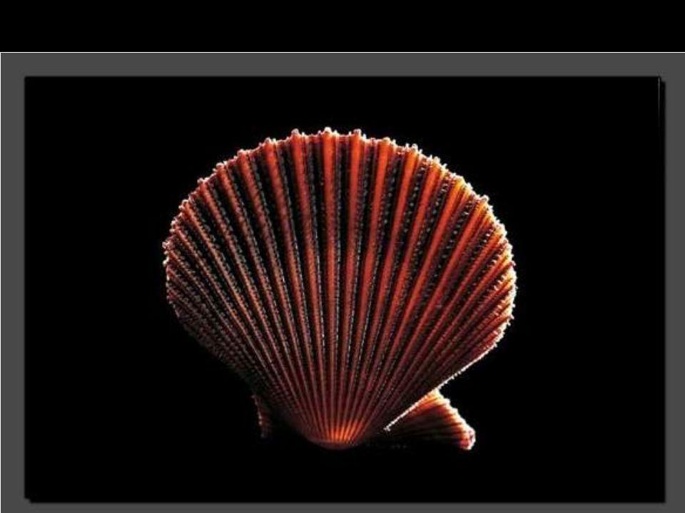 Ce Chlamys asperrima se trouve jusqu à 100 mètres de profondeur.