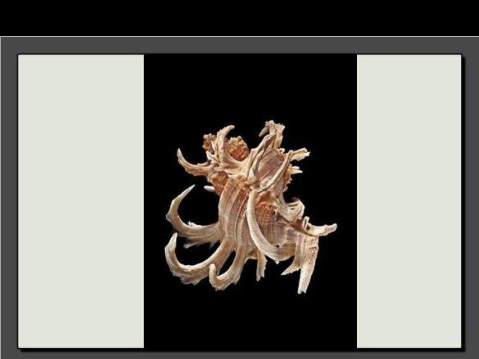 Long de 8 centimètres, ce coquillage appartenant à la famille des murex se caractérise par une coquille extrêmement sculptée mais assez pauvre en dessin.