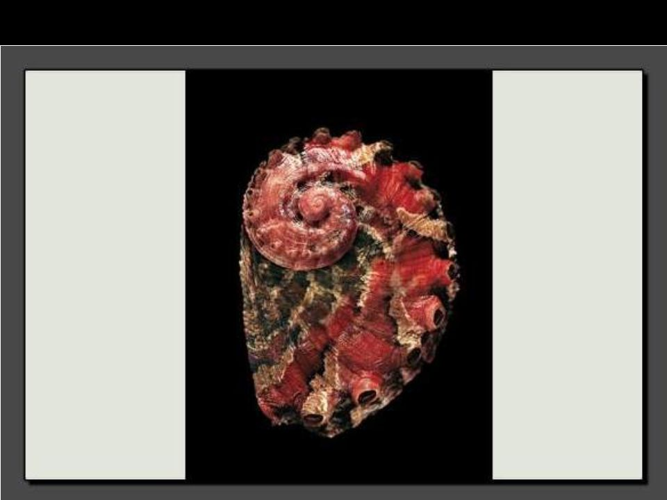 En Afrique du Sud, ce coquillage au rouge éclatant et mesurant 3 centimètres demeure rare.
