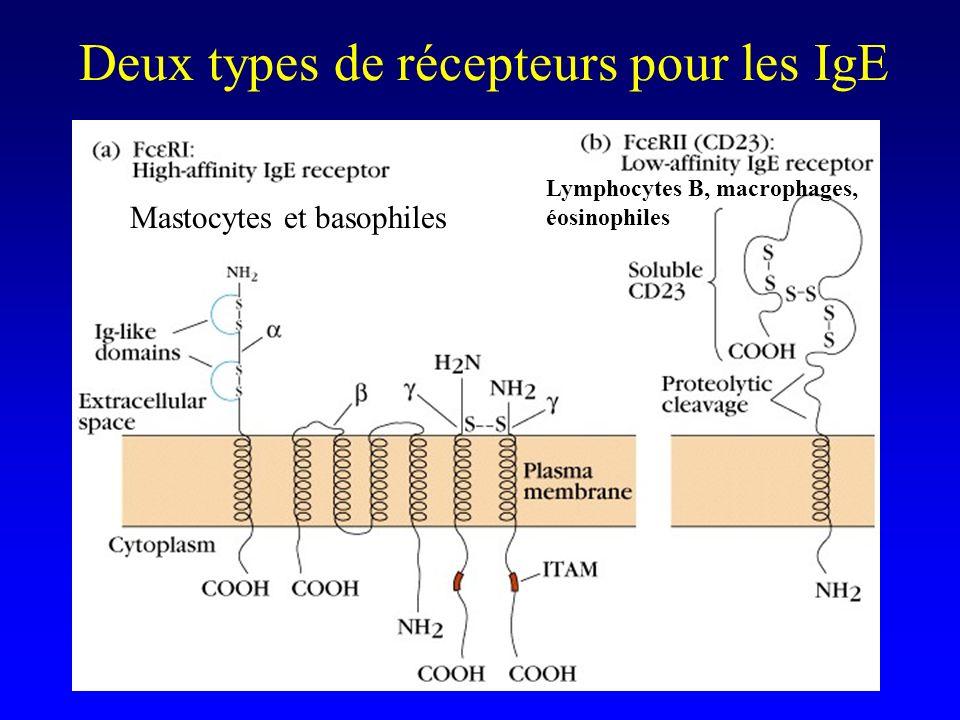Deux types de récepteurs pour les IgE
