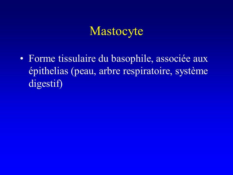 Mastocyte Forme tissulaire du basophile, associée aux épithelias (peau, arbre respiratoire, système digestif)
