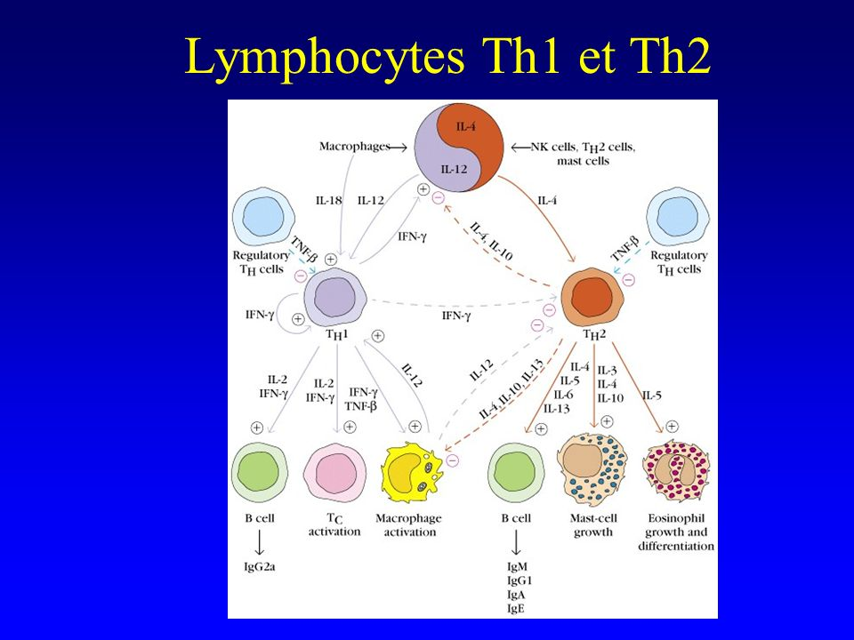 Lymphocytes Th1 et Th2